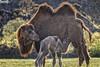 Permiso de maternidad - Maternity permission (danielfi) Tags: maternidad maternity camello camel wildlife animales animals cabárceno cantabria cría baby ngc fauna