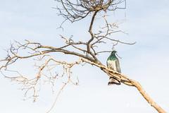 Kereru/NZ Wood Pigeon, Abel Tasman National Park (flyingkiwigirl) Tags: abeltasman bird camp deer doc fernbird goldenbay kereru nationalpark pukeko totaranui weka whiteheron