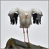 White Stork (image 3 of 4) (Full Moon Images) Tags: wildlife nature bird cambridgeshire village rooftop white stork