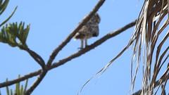 Short-eared owl (Geminiature Nature+Landscape Photography Mallorca) Tags: scarce vogels owls uilen mallorca aves birds aus shortearedowl asioflammeus búhocampestre velduil lechuzacampestre