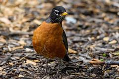 DSC_4711 (Stacey Conrad) Tags: d7500 lititz lititzspringspark nikon pa bird robin