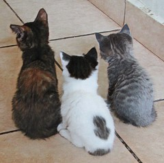 triple trouble (CatnessGrace) Tags: cats kittens