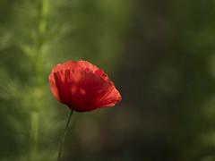 Dans la lumière du soir -----+ (Titole) Tags: poppy red green titole nicolefaton shallowdof sunlight shadow 15challengeswinner