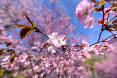 Spring 2018 (fbkphotography) Tags: 15mm blossoms brandenburg deutschland f28 frühling germany kitschy potsdam spring tawdry tamron1530 tamron nikon babelsberg
