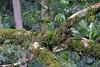 Moss on branch (theq629) Tags: taiwan nantoun sunlinksea 溪頭 溪頭森林遊樂區 xitou xitounatureeducationarea plant branch tree moss lichen
