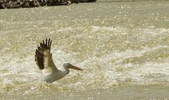 Liftoff (briarphotos) Tags: briarphotos nikon18200mm pelican nikond7000
