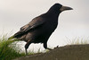 _DSC0534 (cacophotography) Tags: crow ireland bird corvid