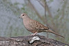 Inca Dove (Alan Gutsell) Tags: inca dove incadove pigeon birds birding southtexasbirds alan wildlife nature canon texasbirds texas rio grande
