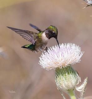 Ruby-Throated hummingbird feeding on thistle
