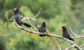 White-fronted Nunbirds (Monasa morphoeus)