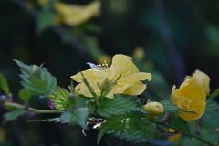 DSC_2503 (griecocathy) Tags: fleurs feuille branches boutons plante pistil printemps gouttelette eau lumière couleur jaune vert violine