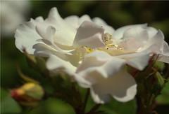 rose.............. (atsjebosma) Tags: rose flower roos bloem macro details spring lente voorjaar atsjebosma groningen thenetherlands may mei 2018 light licht coth5 ngc npc