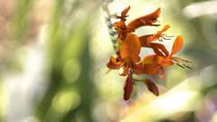 Crocosmia - 'Red' (- A N D R E W -) Tags: crocosmia red color colorful vibrant nature spring primavera meyeroptik görlitz domiplan 50mm f28 vintage prime manual focus