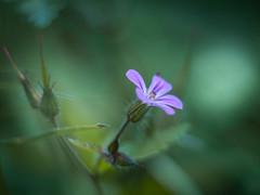 * (ursulamller900) Tags: helios442 extensiontube 12mm makroring mygarden bokeh geraniumrobertianum