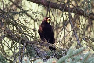 Amsel mit Beute / Blackbird with prey