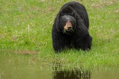 The salad look (ChicagoBob46) Tags: blackbear bear sow yellowstone yellowstonenationalpark nature wildlife coth5 ngc