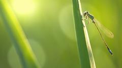 Dinner in the Sun (Stefan Zwi.) Tags: libelle damselfly bluetaileddamselfly ischnuraelegans grosepechlibelle makro macro sunlight fly dinner green grün sonne sonnenlicht gegenlicht backlit ngc npc