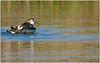 Pavoncella (fausto.deseri) Tags: lapwing vanellusvanellus pavoncella wildlife nature birds wildanimals tivolimanzolino nikond7100 nikkor300mmf28afsii nikontc20eii faustodeseri