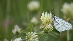 Gazé (Aporia crataegi) (Bastien Merlanchon) Tags: gazé aporia crataegi nature photo animalière papillon chassagny plateau mornantais canon rhône alpes
