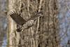 Barred Owl (Matt Shellenberg) Tags: bird barred owl barredowl in flight missouri
