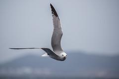 Audouin's Gull (Larus audouinii) (Elipsix) Tags: cabrera audouingull