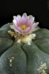 Lophophora williamsii (Alzheimer1) Tags: lophophora williamsii