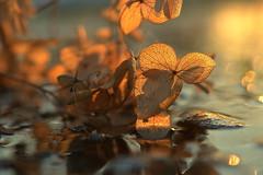 transitions (joy.jordan) Tags: hydrangea puddle texture reflection light sunset bokeh nature transition
