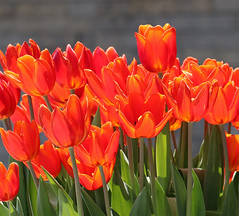Rock Garden Welcome Tulips (TomIrwinDigital) Tags: rbgblooms rbg royalbotanicalgarden tulips spring sunshine burlington rockgarden bloom fantasticflower