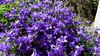 Campanule (bernard.bonifassi) Tags: bb088 06 alpesmaritimes 2018 mai counteadenissa canonsx60 thiery macro fleur campanule