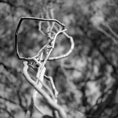 A Tangled Suggestion (macromary) Tags: fomapan rodinal filmcamera vintage vintagecamera vintagelens oldglass manual mechanicalcamera analog availablelight analogphoto 120film bokeh depthoffield dof 120 mediumformat hassy hasselblad hasselblad500cm carlzeissplanar80mmf28ct planar 80mm monotone bw blackandwhite blackwhite airbnb florida banesgrove floralcity vine creeper tangled twisted tangledvine