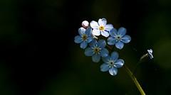 Flora - 4251 (ΨᗩSᗰIᘉᗴ HᗴᘉS +20 000 000 thx) Tags: flower flora blackbackground blue macro light hensyasmine namur belgium europa aaa namuroise look photo friends be wow yasminehens interest intersting eu fr greatphotographers lanamuroise tellmeastory flickering dwf 7dwf