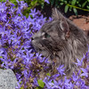 Busy in the bellflowers (FocusPocus Photography) Tags: fynn fynnegan katze kater cat chat gato glockenblumen bellflowers blumen flowers garten garden tier animal haustier pet