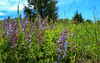 Lupines (phl_with_a_camera1) Tags: nature spring sun landscape wideangle wide lupine flower flowers