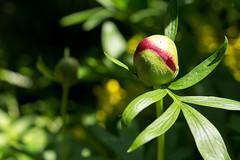 Pfingstrose - Peony (Paeonia) (kaisero119) Tags: garten blume makro pfingstrose peony paeonia garden flower green grün rot red macro blüte bud