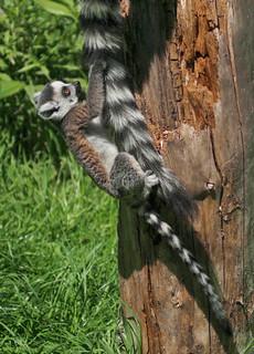 The Lemur climbing frame