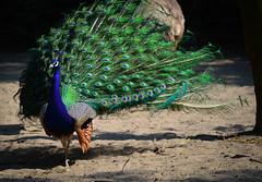 #nikonphotography #nikon_photo #nikonphoto_ #pictureoftheday #phototag #nikon #nikonphoto #nikond3200 #picture #lightroom #picturesofinstagram #nikon📷  #zoo #nikonofficials #bestnatureshot #travel #peacock #dierentuin #nature #beautiful #chasinglig (christywaal1) Tags: nikonphoto animallovers animalofinstagram nikon beautiful bestnatureshot chasinglight zoo lightroom instagood phototag hoenderdaell nature nikonphotography nikonofficials nikond3200 picture animales pictureoftheday instaanimal peacock animal travel bestanimal dierentuin animalprint picturesofinstagram