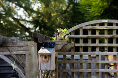 Coming home (Stray Toaster) Tags: back garden bird box tit