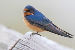 Barn swallow (Hirundo rustica) (Tony Varela Photography) Tags: barnswallow photographertonyvarela swallow bars hirundorustica