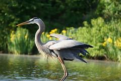 The Great Blue Miss (Ed McKaveney) Tags: alleghenycounty bird environment fishing greatblue heron northpark pennsylvania