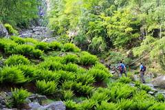 In Val Milano (Roveclimb) Tags: montagna mountain alps alpi muncech escursionismo hiking trekking casenda paiedo berlinghera zania forcelladellazania valmilano altolario valchiavenna sorico felce fern felci ferns forest foresta wood bosco nature natura