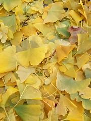 11-11-17 Dayton 09 leaves, fall color (Chicagoan in Ohio) Tags: dayton clouds sun sunhalo leaves fallcolor