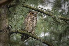 Great Horned Owl. (Estrada77) Tags: greathornedowl raptors birdsofprey distinguishedraptors birding birds nikon nikond500200500mm may2018 spring2018 wildlife outdoors foxriver