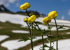 Trolls sur fond de neige. (on a snowy background) (Larch) Tags: troll flower wildflower neige snow fleursauvage jaune yellow montagne mountain alps alpes alpage mountainpasture lemontsaxonnex nuage cloud martinelandry cénise plateaudecénise