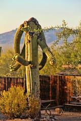 Glad to See You, and of course HFF! (David K. Edwards) Tags: cactus saguaro bloom tucson arizona erection fence hff portrait desert sonora mountain sonoran oasisatwildhorseranch weddingvenue