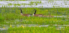 Goose Family (John Kocijanski) Tags: geese canadiangeese birds animals wildlife nature water bashakill wetlands canon70300mmllens canon7d bokeh