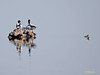 La guardería de los Tarro blanco (Tadorna tadorna) (3) (eb3alfmiguel) Tags: aves acuaticas anseriformes anatidae tarro blanco tadorna