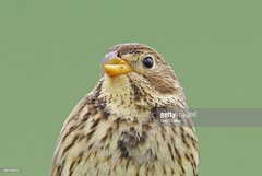 Corn Bunting (Gary Chalker, Thanks for over 3,000,000. views) Tags: cornbunting bunting pentax bird pentaxk3ii k3ii pentaxfa600mmf4edif fa600mmf4edif fa600mm 600mm