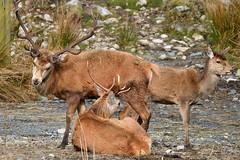 Red Deer Group (tonjoe1966) Tags: forestofgalloway reddeer scotland