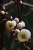 Prunus mume 'Rosemary Clarke' 1 (wundoroo) Tags: nybg newyorkbotanicalgarden bronx newyork march spring ladiesborder flowers tree stamens white