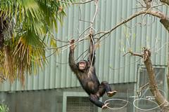 Mshindi (Chimp) (shutterbugdancer) Tags: chimpanzee kamba gypsy tendaji lion lemur elephant adhama dallaszoo zoo animals boipelo hippos giraffe reticulatedgiraffe gorilla congo jenny